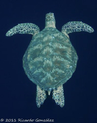 Green turtle on the blue. 